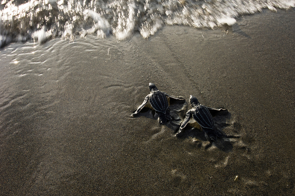 The Huon Coast of Papua New Guinea has a number of important nesting beaches for the endangered leatherback turtle.  At Kamiali, a community-based conservation project has been set up to halt the predation of eggs in nests on the beaches.
