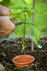 Tying in a sweet pepper to a cane in the greenhouse with garden twine