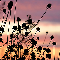 Laura Stoecker/lstoecker@dailyherald.com<br /> A glowing and colorful sunset silhouettes wildflowers at Headwaters Park Forest Preserve in Elburn.