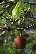 Guiana Chestnut tree (Pachira aquatica) in fruit next to natural rainforest canal. Tortuguero National Park, Costa Rica. <br />