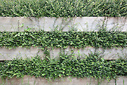 A hedge grows through a wooden fence in Stonehouse, Gloucestershire