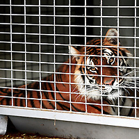 Frankrijk Lieusaint,21 mei 2015.<br /> Stichting AAP die zich inzet voor opvang en welzijn van verwaarloosde dieren waaronder diverse apensoorten haalt nu verwaarloosde 2 tijgers en 2 leeuwen op bij een failliete circus in het plaatsje Lieusaint in de buurt van Parijs om ze vervolgens een betere toekomst te geven in opvangcentrum Primadomus in de buurt van Alicante Spanje<br /> Op de foto: 1 van de tijgers kwam na verdoving alvorens te worden getransporteerd naar dierenopvang Primadomus in Spanje bijna niet meer bij bewustzijn.<br /> <br /> <br /> <br /> Foto: Jean-Pierre Jans
