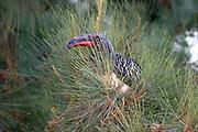 Africa, Ethiopia, Red-billed Hornbill (Tockus erythrorhynchus)