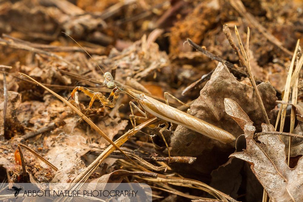 Budwing Mantis (Parasphendale agrionina)<br /> Captive reared individual<br /> 17-June-2017<br /> J.C. Abbott &amp; K.K. Abbott