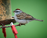 Chipping Sparrow. Image taken with a Nikon D5 camera and 600 mm f/4 VR lens (ISO 1600, 600 mm, f/5.6, 1/50 sec)