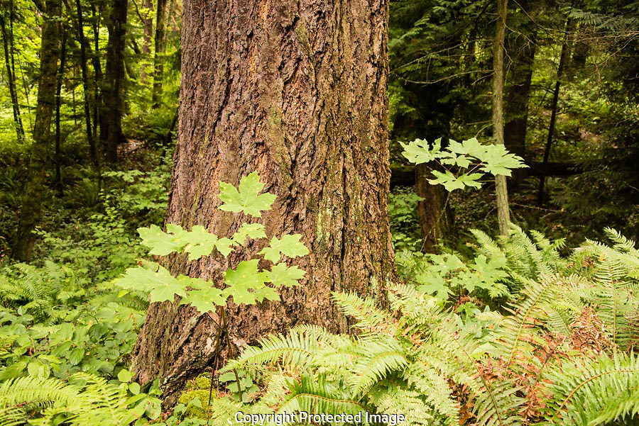 A big-leaf maple sabling must compete for light under the canopy of a Douglas fir.