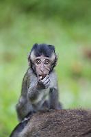 Long-tailed Macaque, Macaca fascicularis (Crab-eating Macaque)