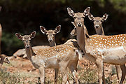 herd of  Mesopotamian Fallow deer (Dama mesopotamica) Photographed in Israel Carmel forest in August