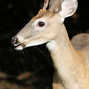 White-tailed Deer closeup of head, Rifle Camp Park; Garret Mountain, New Jersey