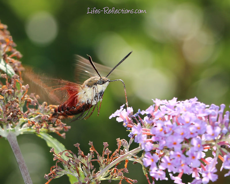 A Hummingbird Moth Feeding on a Butterfly Bush.