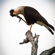A caracara scratches its head in a human like gesture on the Hoffman Ranch in Alice Texas.