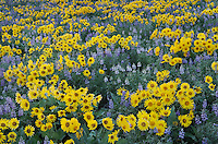 Methow Valley wildflowers, Balsamroot (Balsamorhiza deltoidea) and Lupines (Lupinus latifolius x sericeus var. latifolius), North Cascades Washington