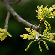 A burr oak begins to leaf out in Lexington, Ky., on 4/12/10. Photo by David Stephenson