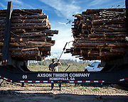 COGDELL, GA - DEC., 8, 2016: A logger with Axson Timber Company cleans up a load of slash pine logs recently harvested from the Sessoms Timber Trust lands, Thursday, December 8, 2016, in Cogdell, Ga.  (Photo by Stephen B. Morton for Georgia Forestry Magazine)