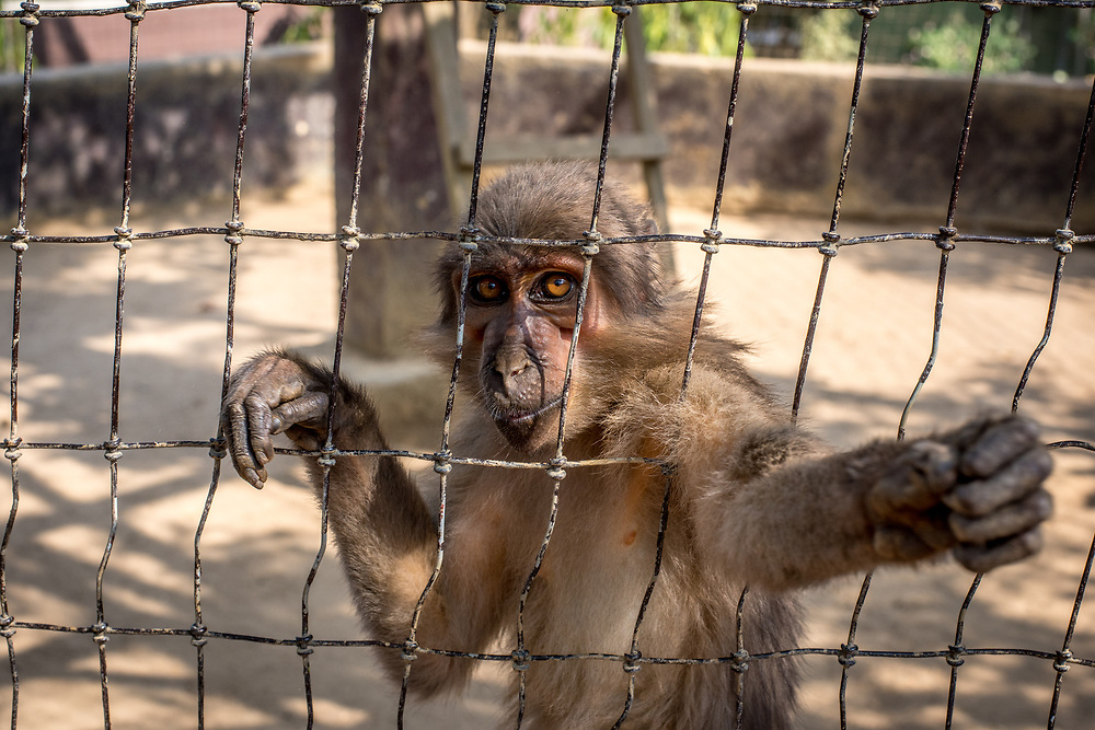 Sooty Mangabey monkey (Cercocebus atys) gazes through wire while reaching out. Ganta Liberia