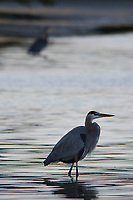Great Blue Heron looking for breakfast. Fort De Soto Park in Pinellas County, Florida. Image taken with a Nikon D300 camera and 300 mm f/2.8 telephoto lens with a TC-E 20 teleconverter (ISO 400, 600 mm, f/8, 1/500 sec).