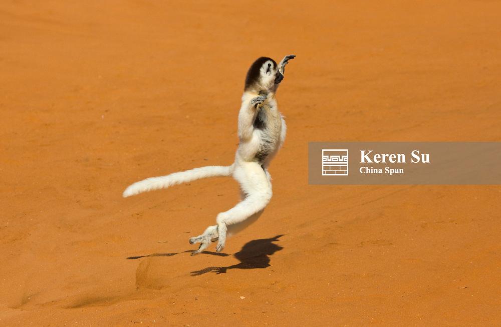 Coquerel's Sifaka (Propithecus coquereli) dancing, Berenty National Park, Madagascar.dance