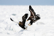 JAPAN, Eastern Hokkaido.Juvenile Steller's sea eagles (Haliaeetus pelagicus) (IUCN 2010: Vulnerable)