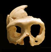 Homo neanderthalensis skull Krapina, Croatia.
