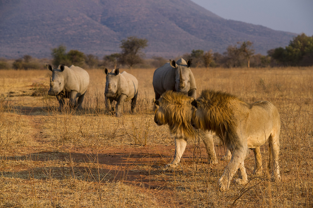 White rhinoceros (Ceratotherium simum) & lion (Panthera leo)<br /> Marakele Private Reserve, Waterberg Biosphere Reserve<br /> SOUTH AFRICA<br /> RANGE: Southern & East Africa<br /> ENDANGERED SPECIES