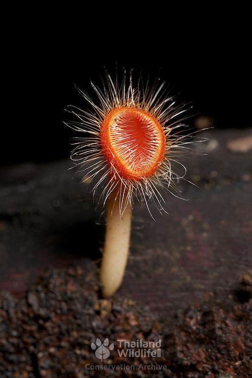 Red Cup fungi, Cookeina tricholoma, in Huai Kha Khaeng, Thailand