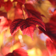 """In Red and Gold""<br />