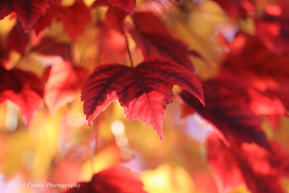 &quot;In Red and Gold&quot;<br />