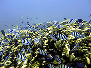 Scuba Diving, Mamanucas, Fiji