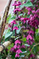 Rhodochiton atrosanguineus AGM, Purple bell vine