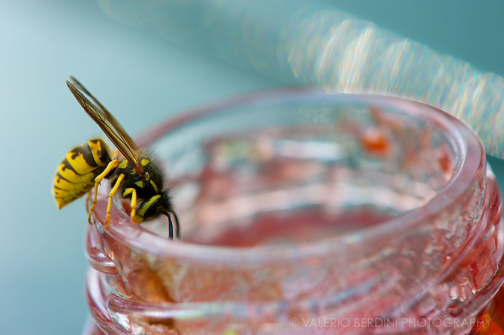 A wasp enjoying a jar of raspberry jam on a late summer afternoon.