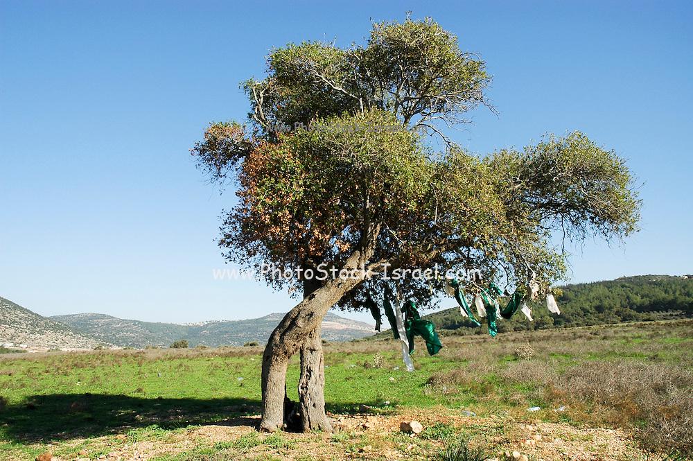 Israel, Upper Galilee, The Bedouin village of Wadi Salame, Ancient Mount Tabor Oak (Quercus ithaburensis) tree