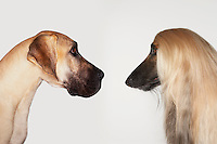 Great Dane and Afghan hound sitting face to face