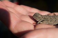 A Northern Desert Horned Lizard (Phrynosoma platyrhinos platyrhinos) in hand at Hart Mountain National Antelope Wildlife Refuge, Oregon