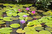 Nil Manel, blue water lily (Nymphaea stellata, or Nymphaea nouchali) at Dambulla, Sri Lanka, Asia