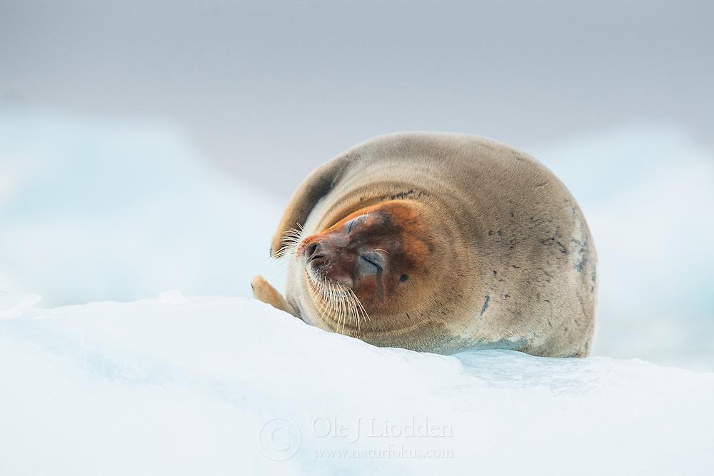 Bearded seal (Erignathus barbatus) in Kongsfjorden, Svalbard, Norway