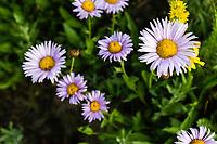 Purple Aster wildflowers in Utah's Albion Basin during the peak wildflower season of Summer.