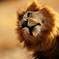 Male Lion shaking his head, Masai Mara, Kenya