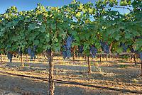Merlot grapes ready for harvest, Wahluke Slope Columbia Valley Washington