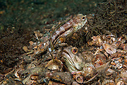 Banded Jawfish, Opistognathus macrognathus, courting and mating in the Lake Worth Lagoon, Singer Island, Florida, United States