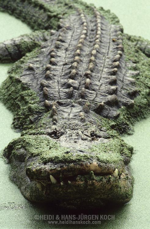 Vereinigte Staaten von Amerika, USA, Florida: amerikanischer Mississippi-Alligator (Alligator mississippiensis). Altes Alligator-Maennchen bedeckt mit Entengruen. | United States of America, USA, Florida: American Alligator, Alligator mississippiensis, old male in a duckweed swamp. |