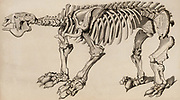 Composite skeleton of a Megatherium, made up of three separate specimens sent to Madrid between 1789 and 1798. The first was discovered near Buenos Aires, Argentina, the second near Lima in Peru, and the third in Paraguay.  From 'The Animal Kingdom' by George Cuvier (London, 1830).   Engraving.
