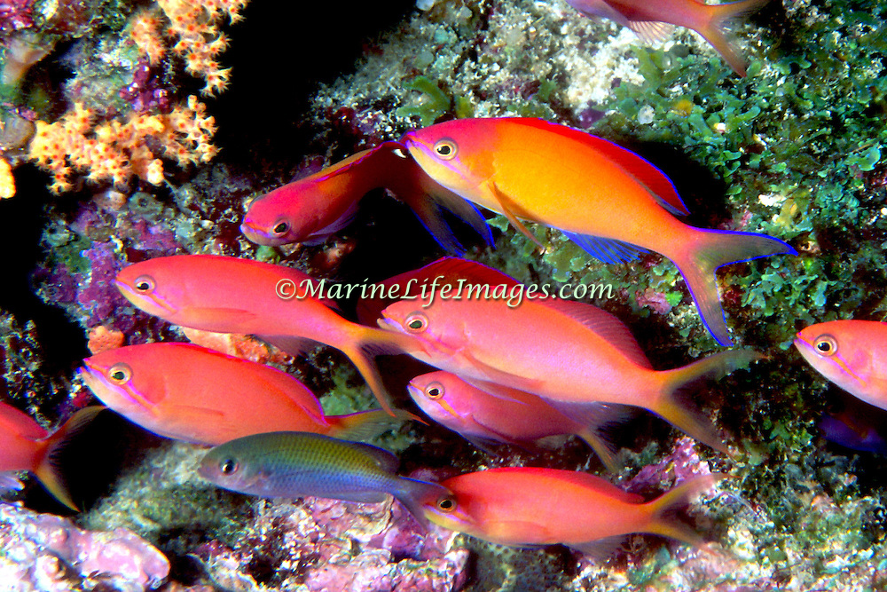 Redfin Anthias inhabit reefs often along the upper edge of steep slopes. Picture taken PNG.