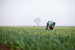 © Licensed to London News Pictures. 08/03/2013.Spalding, UK. Daffodil pickers in Lincolnshire begin the spring daffodil pick in time for mothers day. This years flower are two weeks late to bloom.   Photo credit : Tom Maddick/LNP