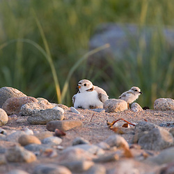 Piping plover, Charadrius meoldus, on the beach at the Nature Conservancy's Griswold Point Preserve in Old Lyme, Connecticut.  Near the mouth of the Connecticut River at Long Island Sound.