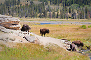 Bison at Soda Butte in the Lamar Valley in Yellowstone National Park.