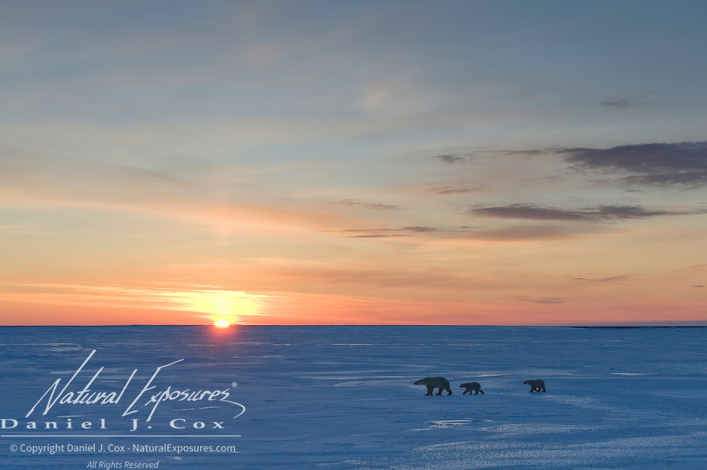 A polar bear  mother and her cubs make their way across a frozen lake near Cape Churchill, Manitoba, Canada.