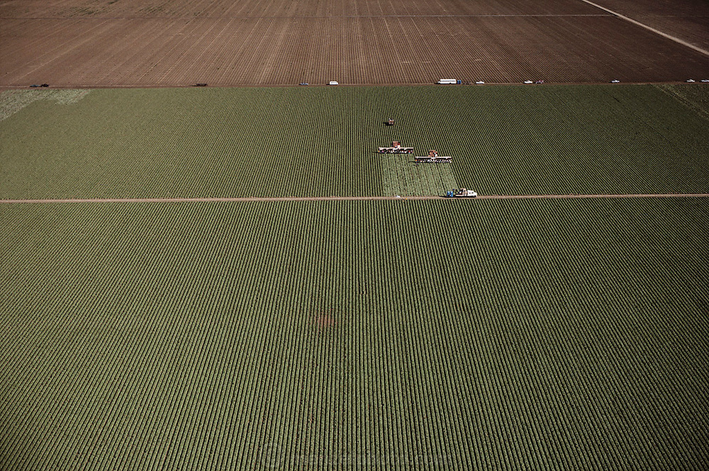 Aerial photograph of harvesting lettuce at Harris Farms in San Joaquin Valley, California. Two large trucks pull conveyors with farm workers sitting low to the ground, enabling  them to cut the lettuce as workers on the trucks pack it in crates as they move through the fields, harvesting 16 rows at a time.