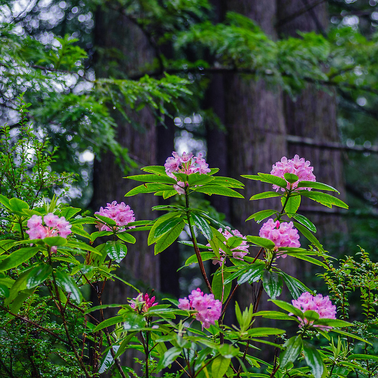 Rhododendron, Del Norte Coast Redwood State Park, Crescent City, CA