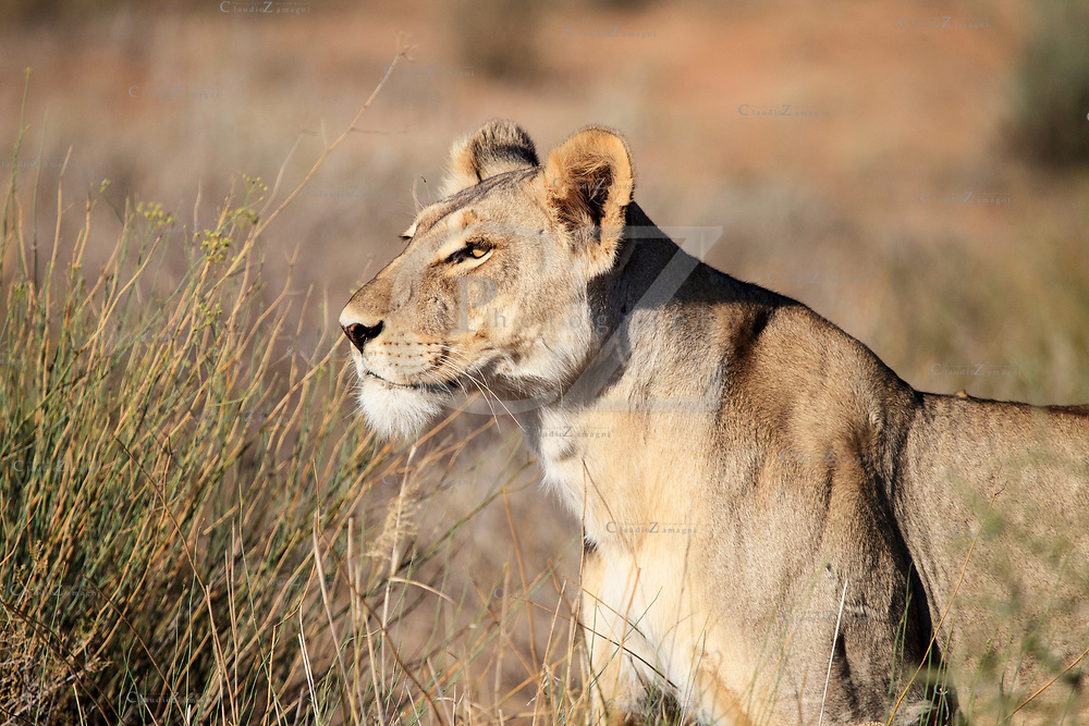 Lioness in Kgalagadi Transfrontier park South Africa<br />
