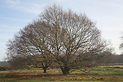 Quercus robur small oak trees on heath in winter, Tunstall Common, Suffolk, England